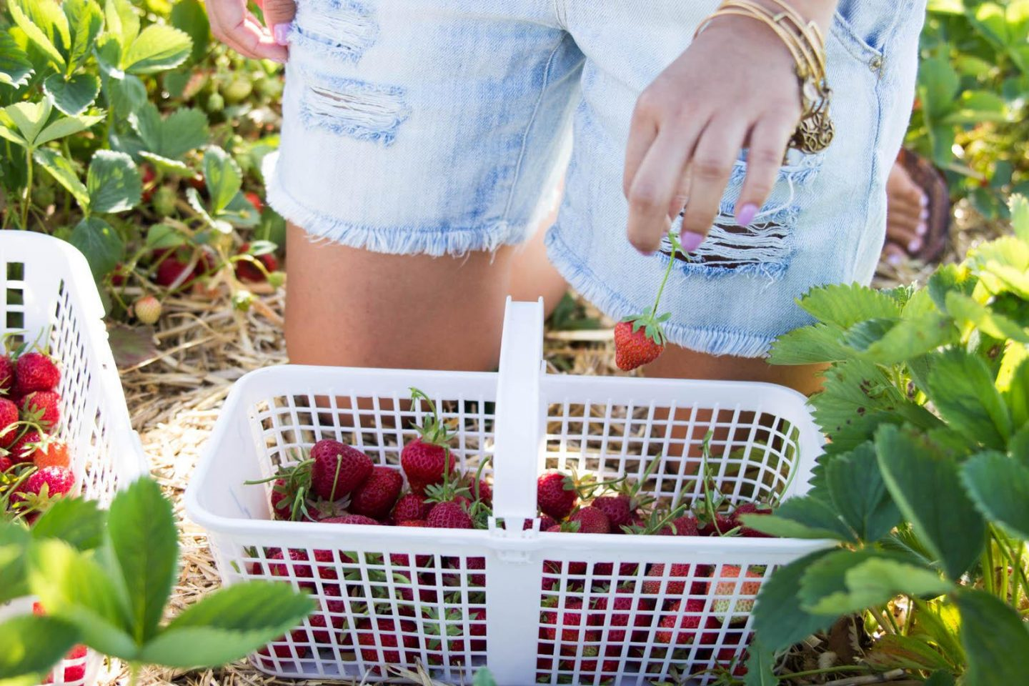 Strawberry Picking06252016_3096
