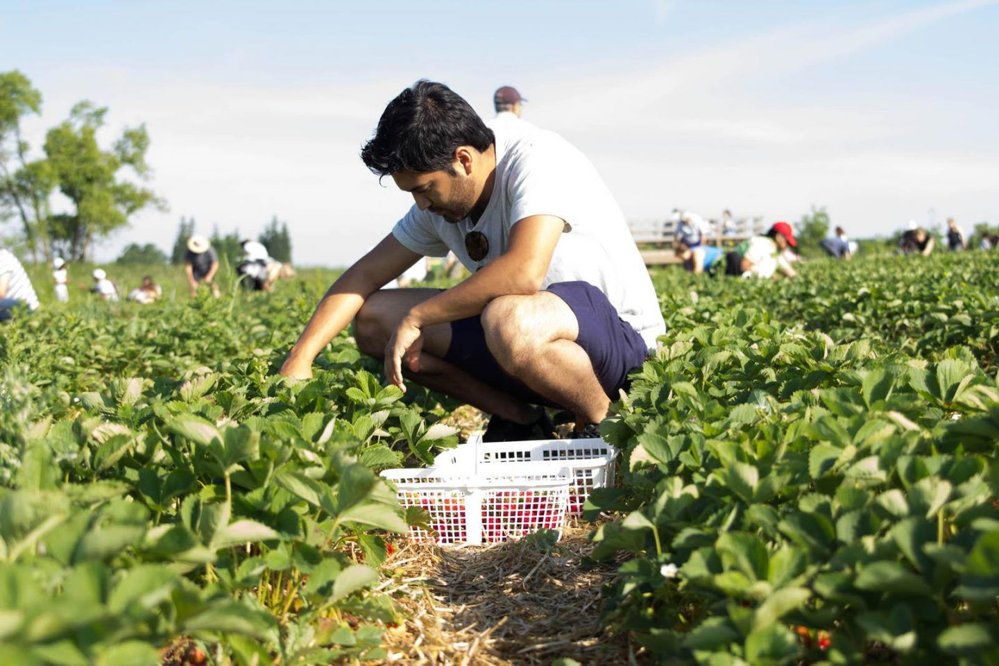 Strawberry Picking06252016_3110