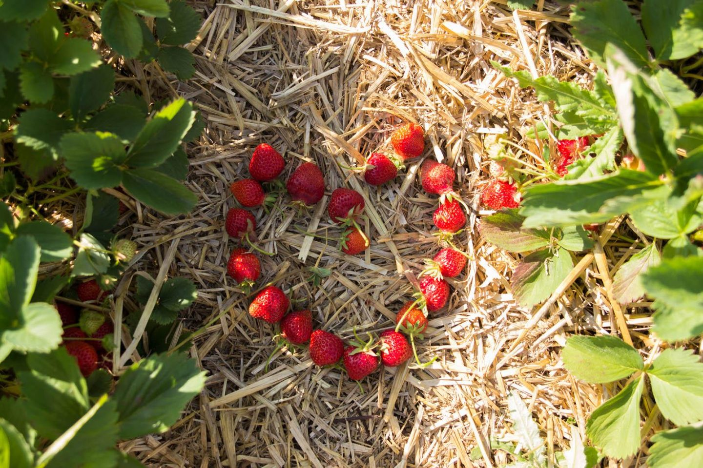Strawberry Picking06252016_3131-2