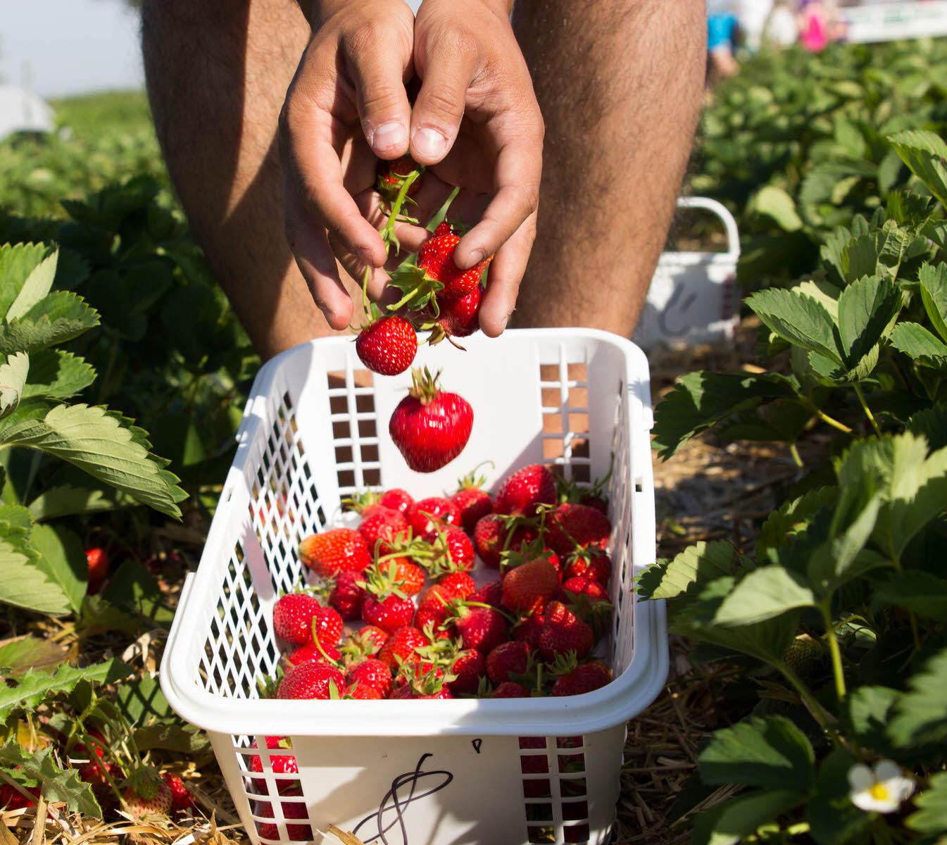 Strawberry Picking06252016_3151-3