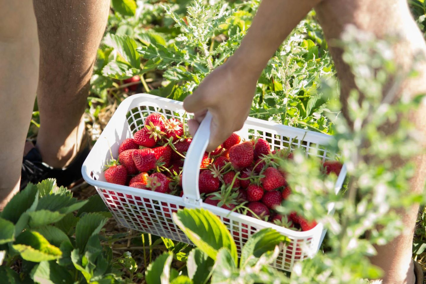 Strawberry Picking06252016_3157