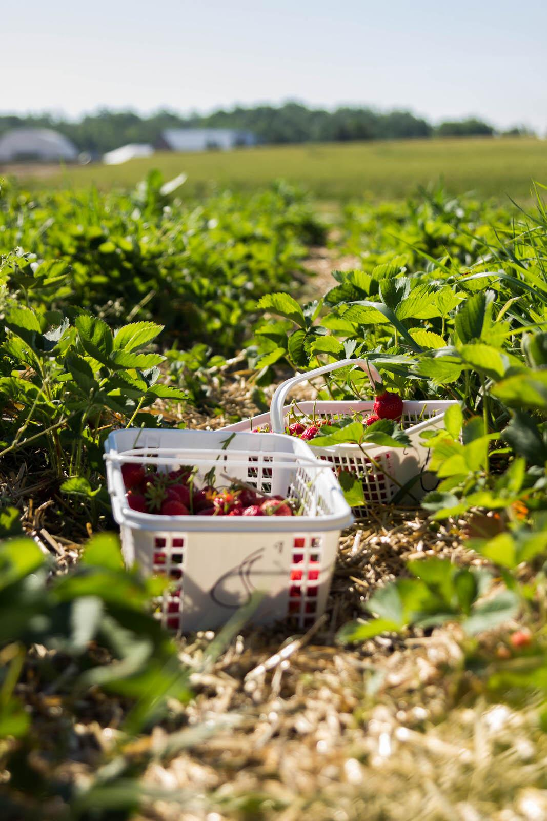 Strawberry Picking06252016_3192