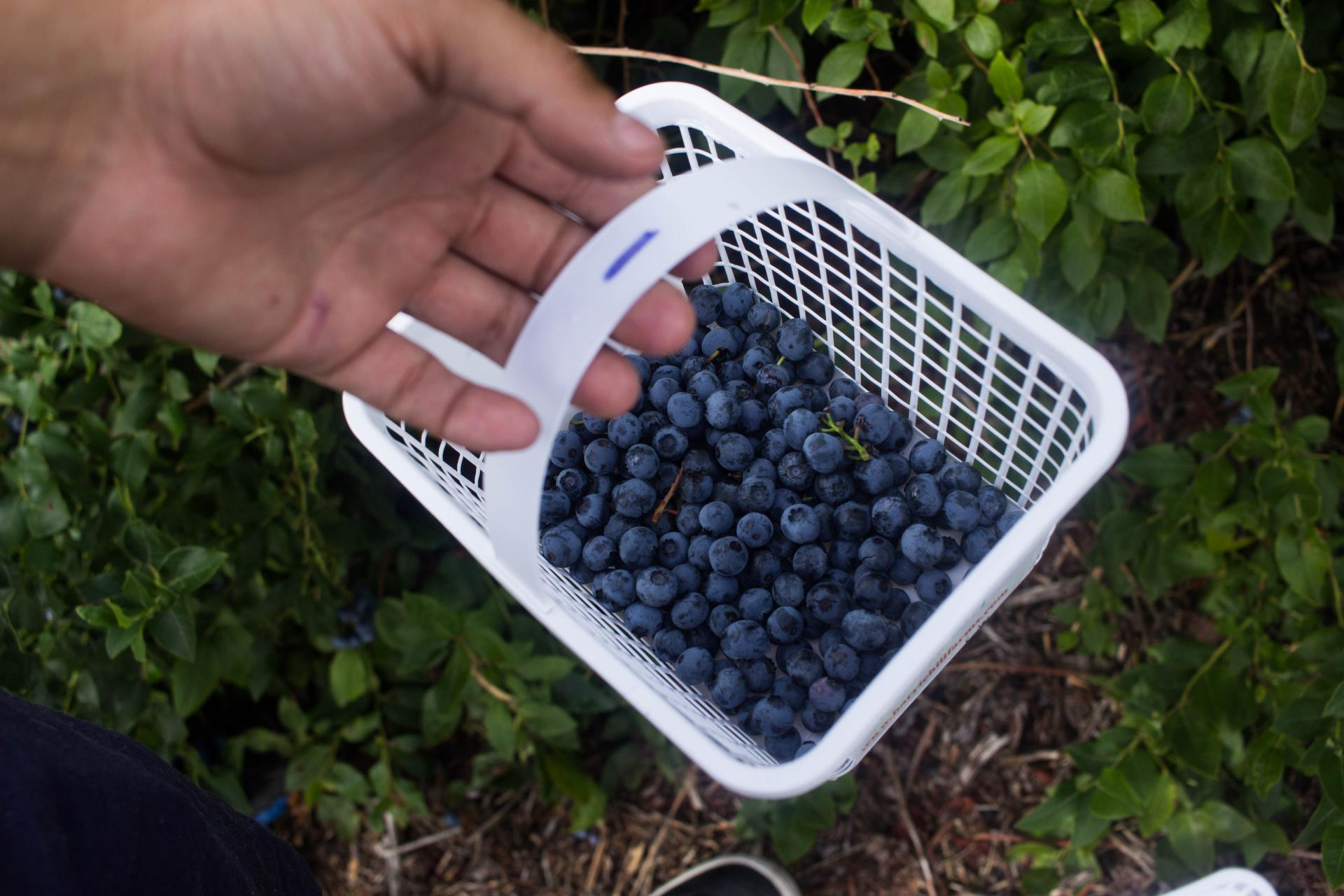 BlueBerryPicking08202016_5312