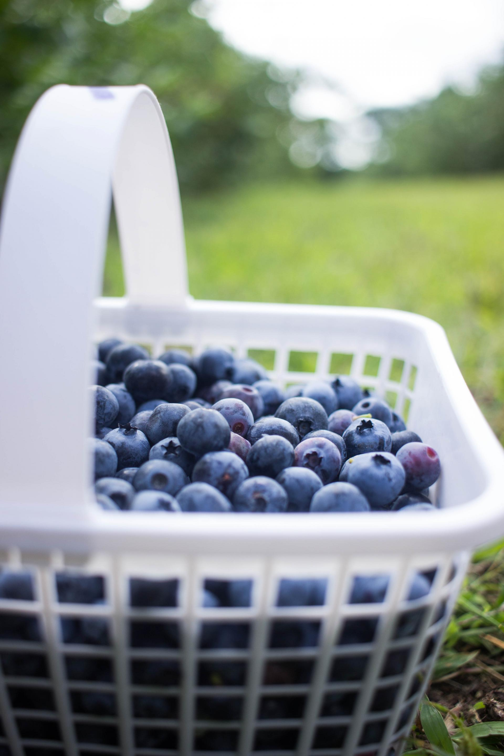 BlueBerryPicking08202016_5434